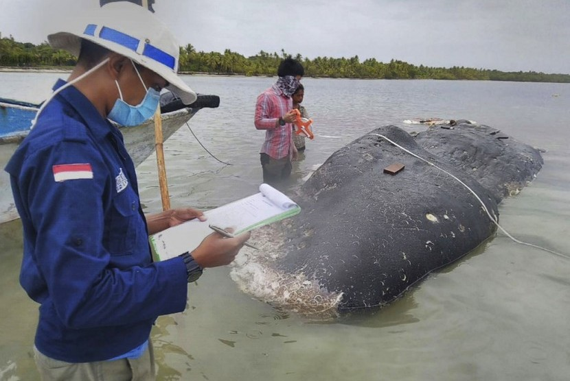 A dead sperm whale that washed ashore in the marine national park of Wakatobi was found to contain 5.9 kilograms of plastic waste in its stomach, November 2018.