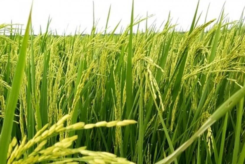 Pengembangan padi Ciherang yang memiliki aroma wangi.