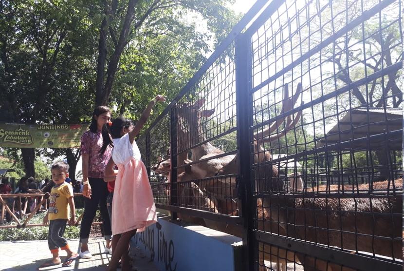 Pengunjung memberi makan rusa di Kebun Binatang Surabaya.