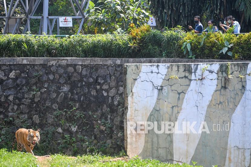 Pengunjung mengamati Harimau Sumatera (Panthera tigris sumatrae) saat berlibur di Taman Margasatwa Ragunan, Jakarta beberapa waktu lalu. Dua ekor Harimau Sumatra penghuni Taman Margasatwa Ragunan didiagnosis positif Covid-19 pada 15 Juli 2021.