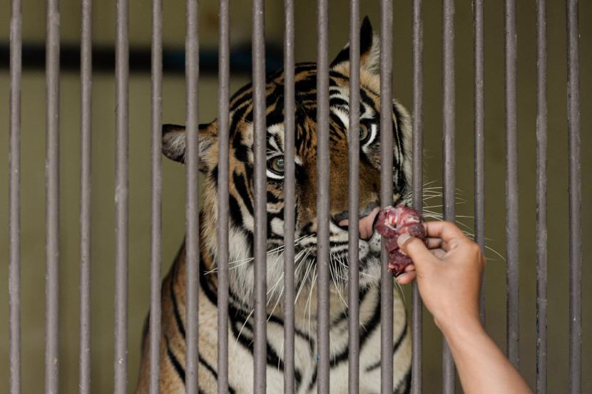 Perawat memberikan makan harimau Sumatera bernama Tino (9) yang terpapar Covid-19 di kandangnya di Taman Margasatwa Ragunan, Jakarta.