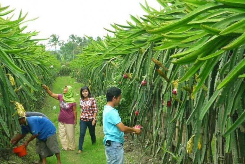 Perkebunan buah naga.