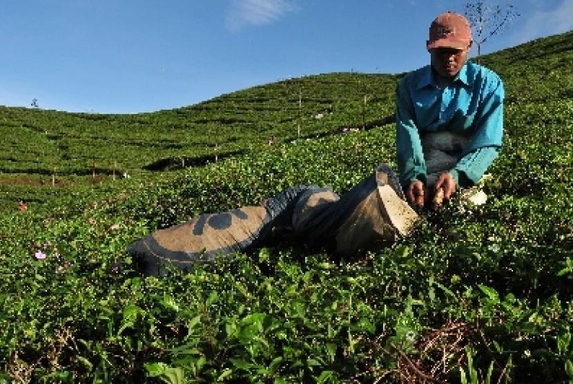 Perkebunan teh di Indonesia.