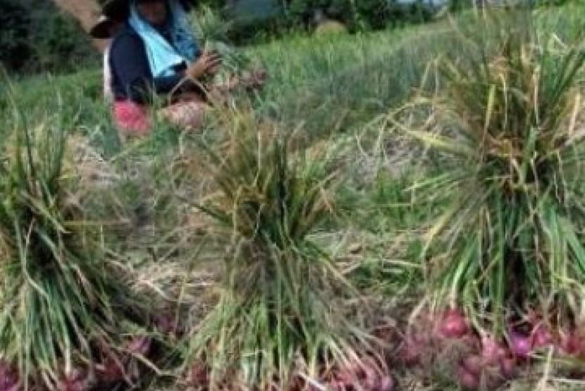 Petani bawang merah (Ilustrasi)