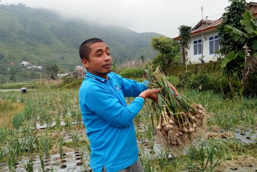 Petani bawang putih menikmati panen.