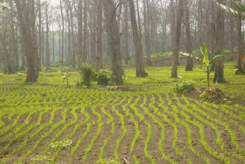 Petani disarankan menanam padi gogo di musim tanam ketiga (ilustrasi).