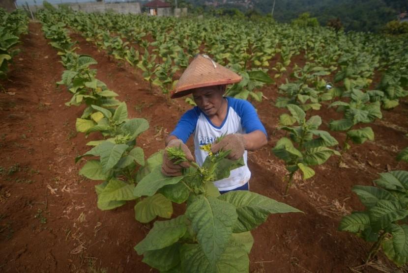 Petani melakukan perawatan daun tembakau di Desa Cikeuyeup Hilir, Kabupaten Sumedang, Jawa Barat, Kamis (20/6/2019).