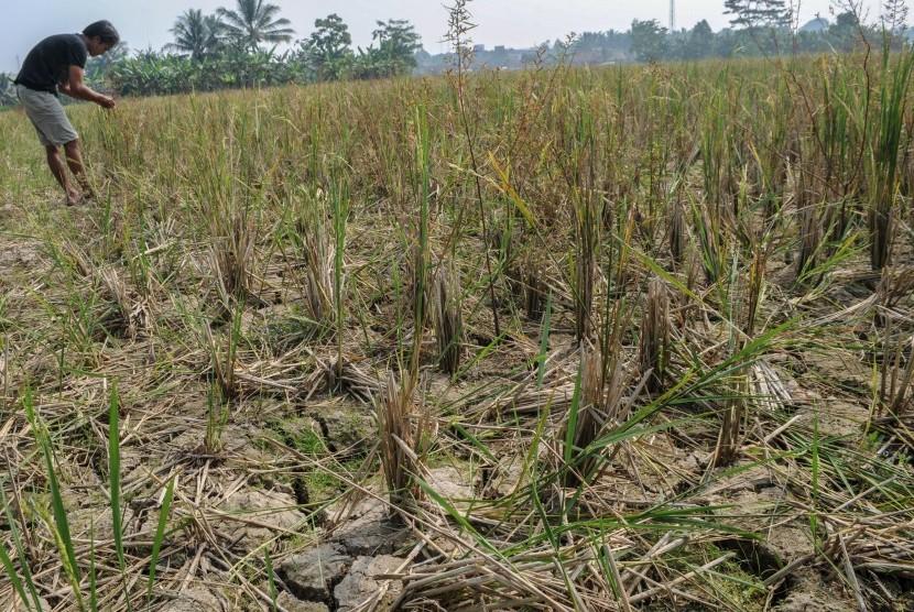 BNPB: 20.269 Hektare Lahan Pertanian Berpotensi Puso