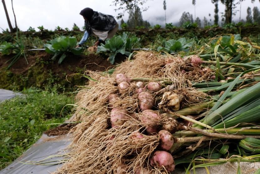 Petani memanen bawang putih varietas Lumbu Kuning di perladangan kawasan lereng gunung Sindoro Desa Canggal, Candiroto, Temanggung, Jawa Tengah, Senin (18/3/2019).