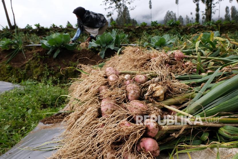 Petani memanen bawang putih varietas Lumbu Kuning di perladangan kawasan lereng gunung Sindoro Desa Canggal, Candiroto, Temanggung, Jawa Tengah, Senin (18/3).