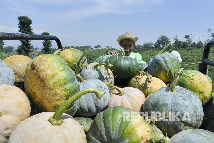 Petani memanen buah labu di Cimenyan, Kabupaten Bandung, Ahad (31/7). (Mahmud Muhyidin)
