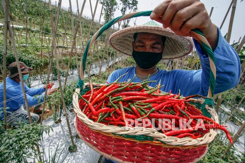 Petani memanen cabai di perkebunan kawasan Cigombong, Kabupaten Bogor, Jawa Barat, Selasa (24/8/2021). Kementerian Pertanian melansir data produksi aneka cabai nasional pada Januari hingga Juli 2021 yang menunjukkan masih surplus, pada bulan tersebut terdapat produksi sebanyak 163.293 ton dengan kebutuhan sebesar 158.855 ton.
