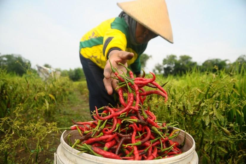 Petani memanen cabai di persawahan Desa Terkesi, Grobogan, Jawa Tengah, Senin (14/1/2019).