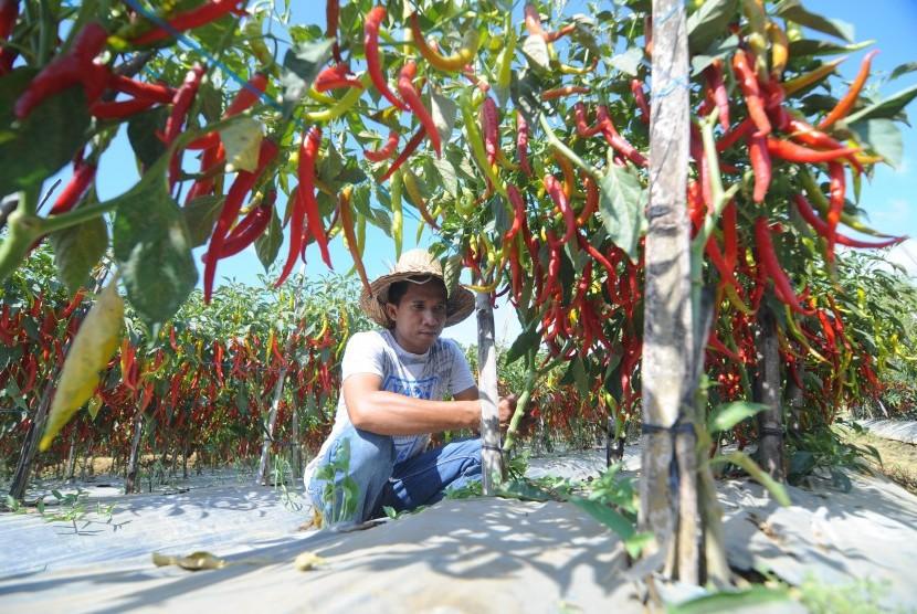 Petani memanen cabai merah di Desa Kertagenah Tengah, Kadur, Pamekasan, Jawa Timur, Selasa (6/11/2018).