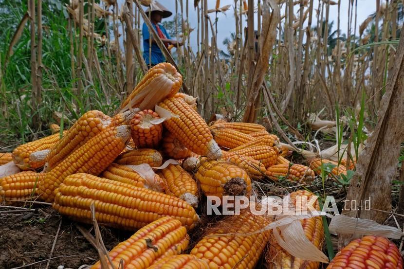 Petani memanen jagung di persawahan Desa Donorojo, Tegalrejo, Magelang, Jawa Tengah, Ahad (26/9). Pemerintah melalui Kementerian Pertanian (Kementan) memastikan pasokan stok jagung aman dan terkendali hingga akhir tahun.