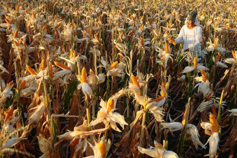 Petani memanen jagung di persawahan Desa Sendangharjo, Karangrayung, Grobogan, Jawa Tengah, Sabtu (4/8).