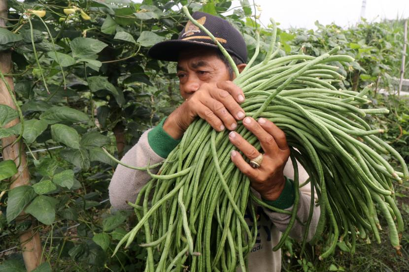 Petani memanen kacang panjang di area persawahan Kelurahan Tosaren, Kota Kediri, Jawa Timur, Jumat (24/9/2021). Petani di daerah tersebut memilih menanam kacang panjang daripada tanaman palawija lainnya karena bisa dipanen mulai usia dua bulan, memiliki siklus panen hingga 18 kali dalam sekali tanam, dan harga jual stabil pada kisaran Rp4.000 hingga Rp5.000 per kilogram sehingga dinilai lebih menguntungkan.