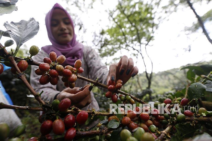 Petani memanen kopi arabica gayo (ilustrasi). Koperasi BQ Baburayyan, Aceh, merupakan satu-satunya koperasi yang memasok kopi arabica gayo ke Starbucks tanpa agen.