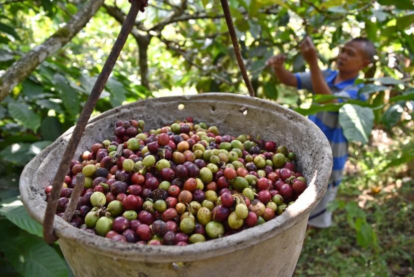 Petani memanen kopi robusta di salah satu perkebunan rakyat di Nyatnyono, Ungaran Barat, Kabupaten Semarang, Jawa Tengah, Selasa (24/7).