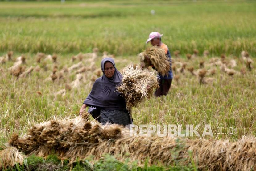 Petani memanen padi di sawah pada hari panen.