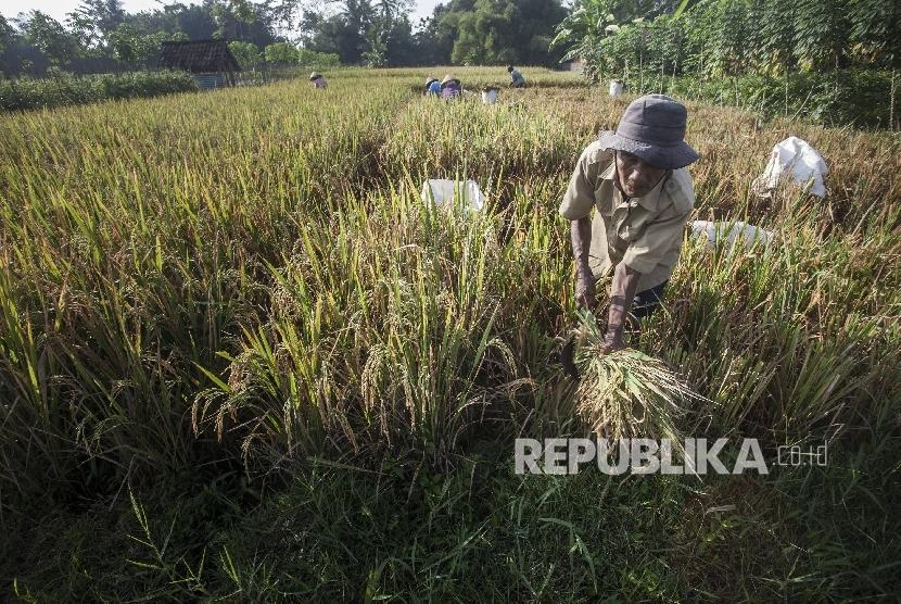 Petani memanen padi dikawasan Seyegan, Sleman, DI Yogyakarta (ilustrasi).