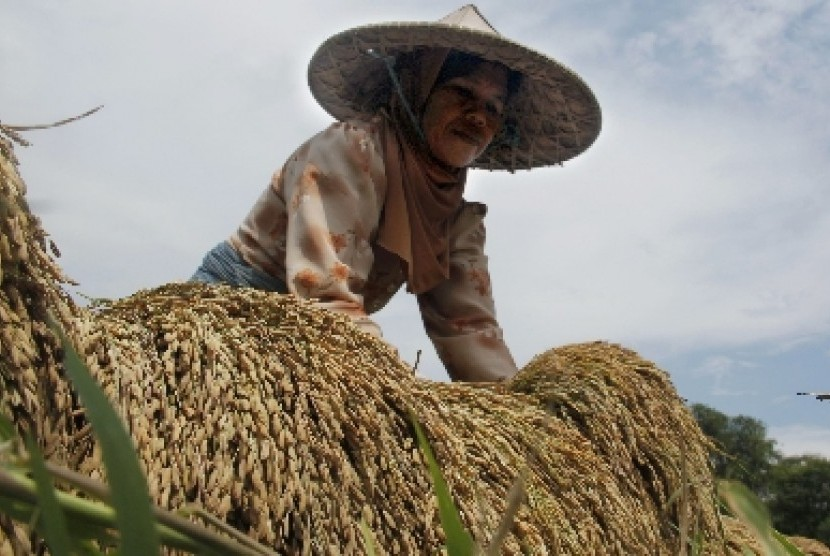 Petani memanen padi gogo di sawah tadah hujan.