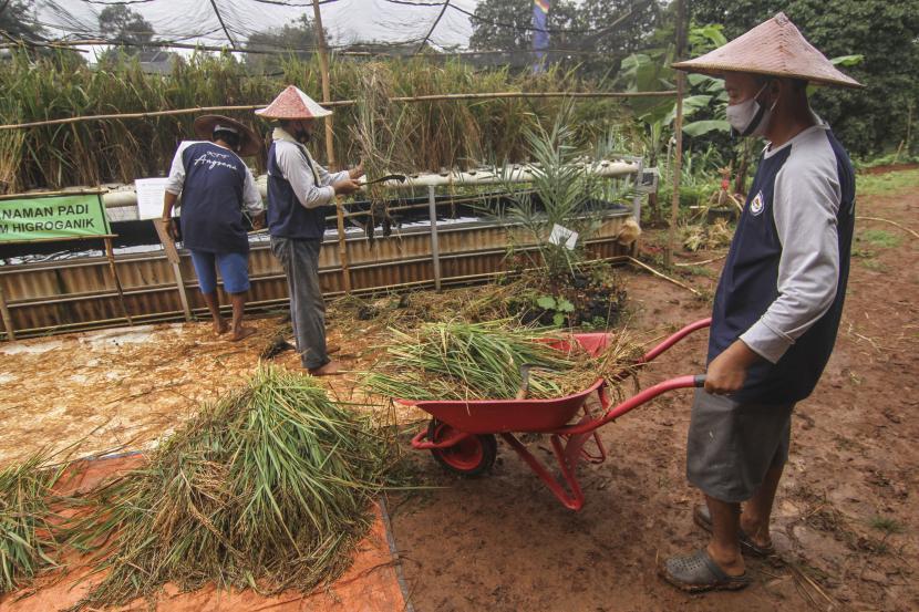 Petani memanen padi yang ditanam dengan dengan sistem hidroganik di Perumahaan Bumi Sawangan Indah, Depok, Jawa Barat, Selasa (16/2/2021). Kelompok Tani Terpadu Angsana 12 memanfaatkan lahan tidur di sekitar perumahan mereka sebagai lokasi menanam padi dengan sistem hidroganik.