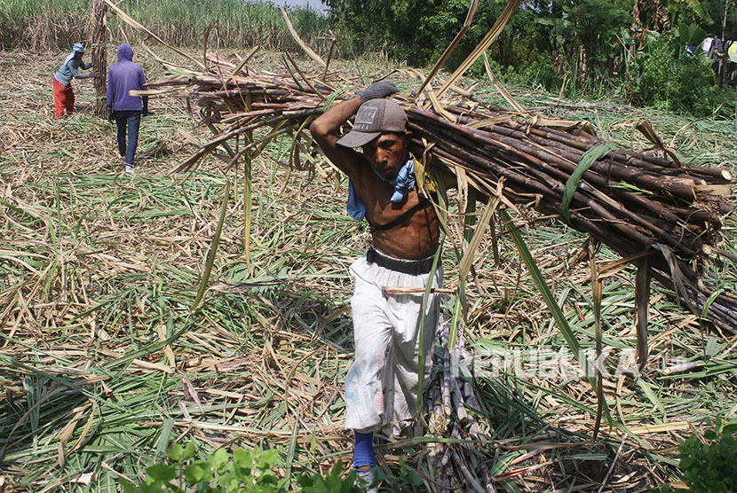 Petani memanen tebu untuk dikirim ke pabrik gula, di Ngawi, Jawa Timur  ilustrasi