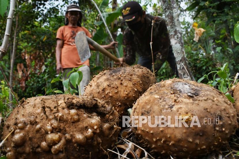 Petani memanen umbi porang (Amorphophallus muelleri Blume) di Desa Padas, Dagangan, Kabupaten Madiun, Jawa Timur, Selasa (10/8/2021). Harga umbi porang basah menurut petani saat ini turun dibanding musim panen tahun lalu dari Rp15 ribu - Rp16 ribu menjadi Rp7 ribu per kilogram, akibat melimpahnya hasil produksi porang.