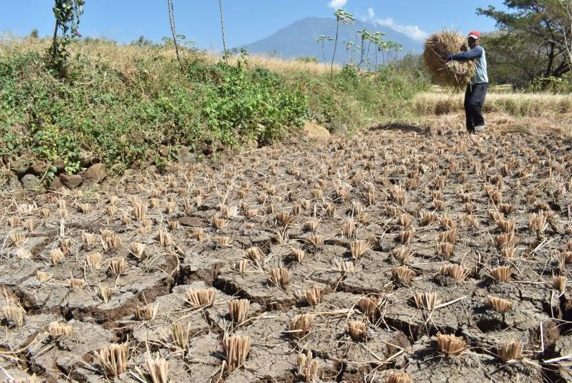 Petani membabat tanaman padinya yang rusak akibat kekeringan di Kabupaten Magetan, Jawa Timur, Jumat (28/6/2019).