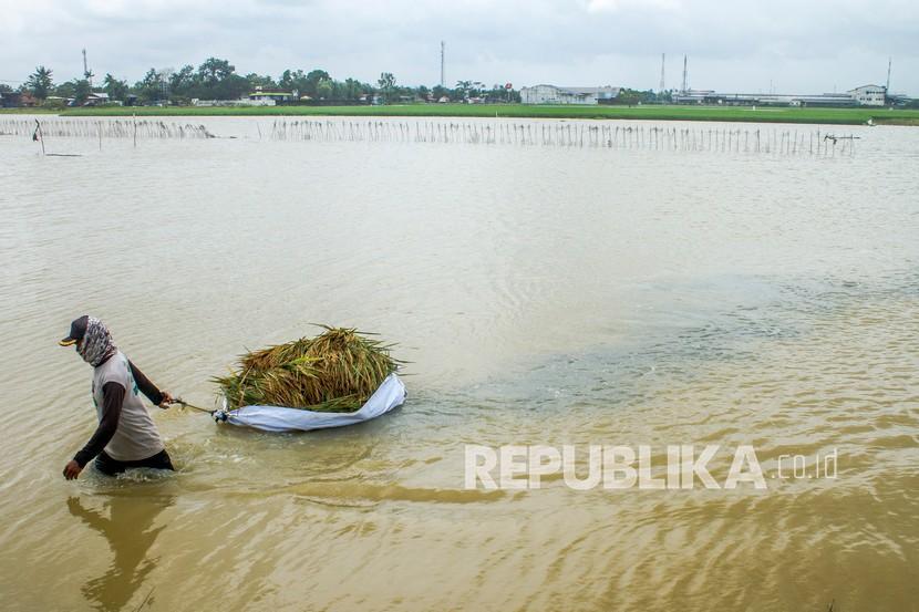 Petani membawa padi yang terendam banjir di areal persawahan desa Amansari, Rengasdengklok, Karawang, Jawa Barat, Sabtu (6/2/2021). Tingginya intensitas hujan di wilayah itu mengakibatkan ratusan hektar tanaman padi siap panen terendam banjir dan sebagian besar padi rusak serta terancam gagal panen.