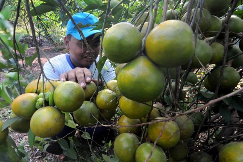 Desa di Magetan Angkat Jeruk Jawa Jadi Komoditas Unggulan (ilustrasi).