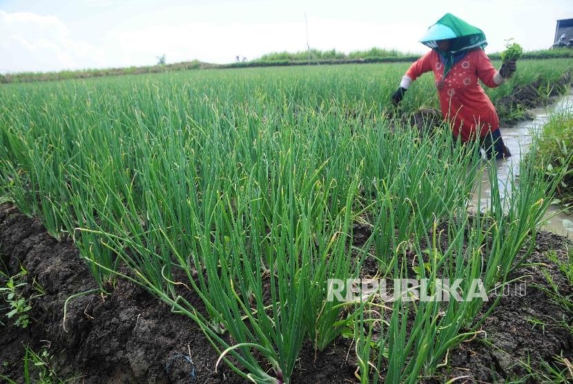 Petani memeriksa tanaman bawang merah di area persawahan Desa Larangan, Kecamatan Larangan, Brebes, Jawa Tengah, Senin, (11/4). (Republika/Agung Supriyanto)