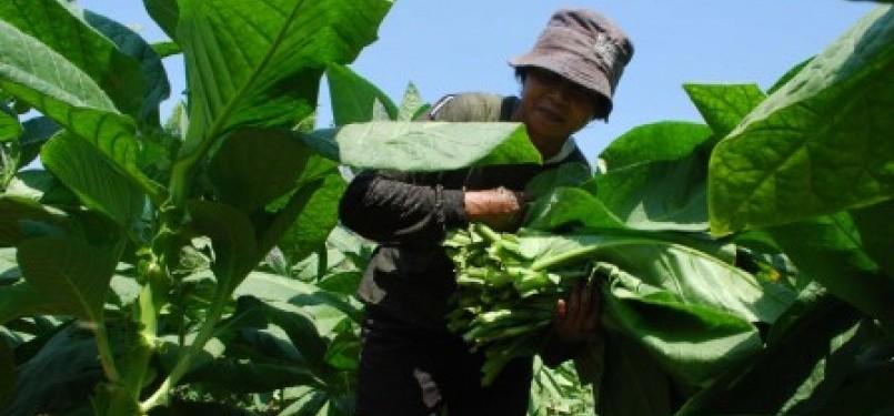 Petani memetik daun tembakau saat berlangsungnya musim panen (ilustrasi).