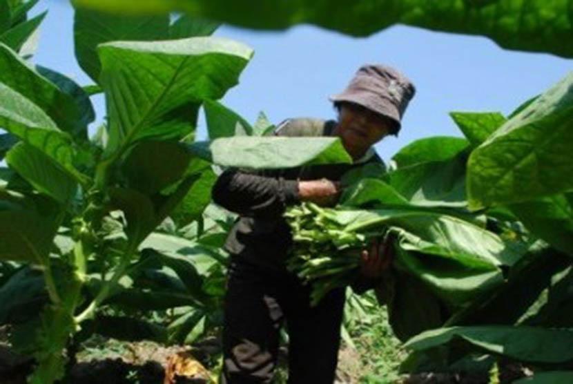 Inovatif dan Kreatif, Industri HPTL Dinilai Butuh Dukungan. Foto: Petani memetik daun tembakau saat berlangsungnya musim panen (ilustrasi).