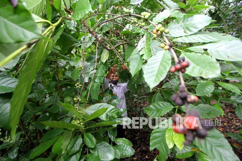 Tanaman kopi. Kalangan petani kopi di Kabupaten Rejang Lebong, Bengkulu, mulai menggunakan teknik penyambungan pucuk. Teknik ini dinilai lebih menguntungkan karena mampu menghasilkan kopi lebih banyak (ilustrasi).