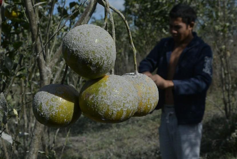 Petani memilah tanaman jeruk yang rusak akibat terpapar abu vulkanis Gunung Agung di Desa Suter, Bangli, Bali, Senin (2/7).