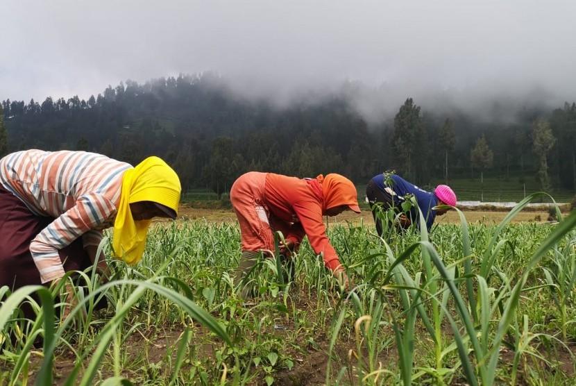Petani menanam bawang putih