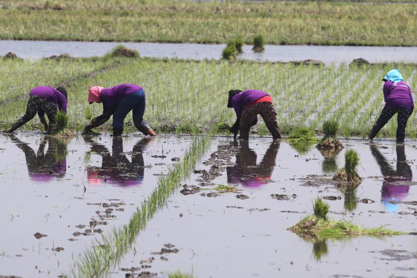 Petani menanam padi di kawasan pertanian padi sepanjang tahun Desa Jongbiru, Kediri, Jawa Timur, Rabu (13/10/2021). Pemerintah mendorong petani melakukan pola tanam padi empat kali dalam setahun guna meningkatkan produksi dan terjaminnya ketersediaan beras dalam negeri.