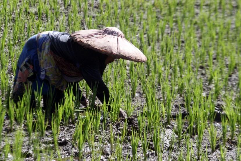 Petani menanam padi di lahan pertanian di Bogor, Jawa Barat, Jumat (4/1/2019).