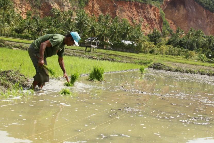 Petani menanam padi di lahan sawah tadah hujan , Desa Lampisang, Lhoknga, Aceh Besar, Aceh, Senin (28/11).