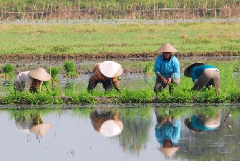 Petani menanam padi di sawah (ilustrasi).