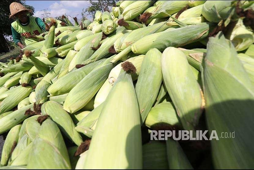 Petani menata jagung usai dipanen di area pertanian Desa Paron, Kediri, Jawa Timur, Selasa (25/9). Pemerintah melalui Peraturan Presiden (Perpres) menaikkan Harga Pokok Penjualan (HPP) komoditas jagung dari sebelumnya Rp1.000-Rp1.500 per kilogram menjadi Rp3.150 per kilogram.