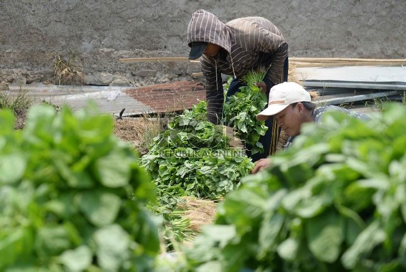 Petani menata sayur bayam saat memanen di Neglasari, Tangerang, Banten, Kamis (15/10).