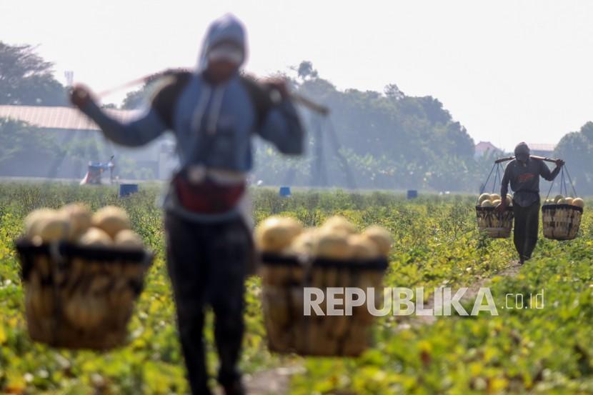 Petani mengangkut melon saat panen di areal persawahan kawasan Sawotratap, Sidoarjo, Jawa Timur, Selasa (28/9/2021). Petani setempat mengalami kerugian akibat dari musim kemarau diselangi hujan menyebabkan kualitas buah melon hasil panen menurun.