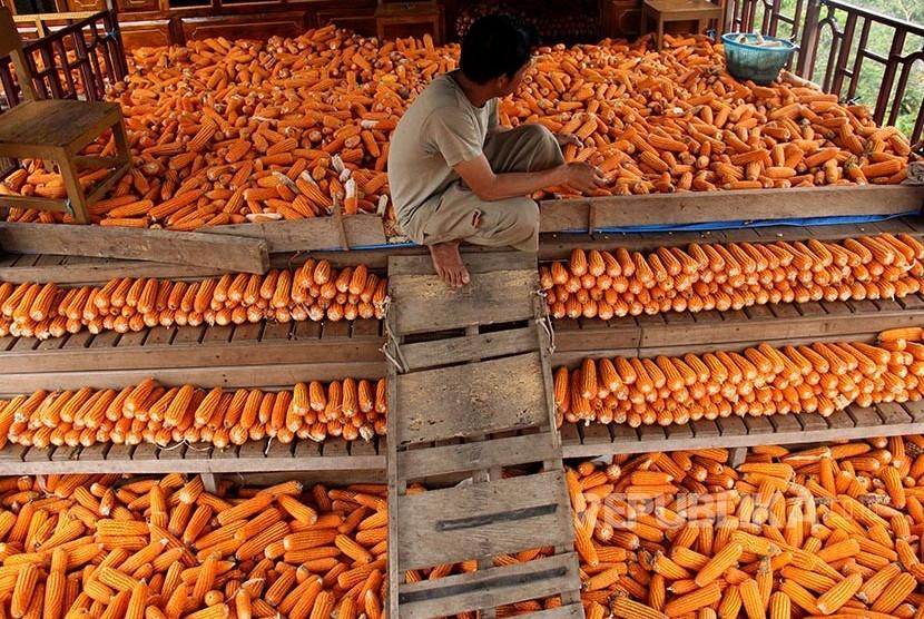 Petani mengumpulkan jagung hasil panennya yang akan menjadi bahan pakan ternak ayam.