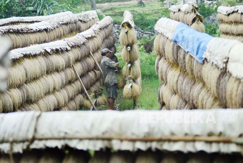 Petani menjemur padi secara tradisional di wilayah adat Kabupaten Sukabumi, Jawa Barat