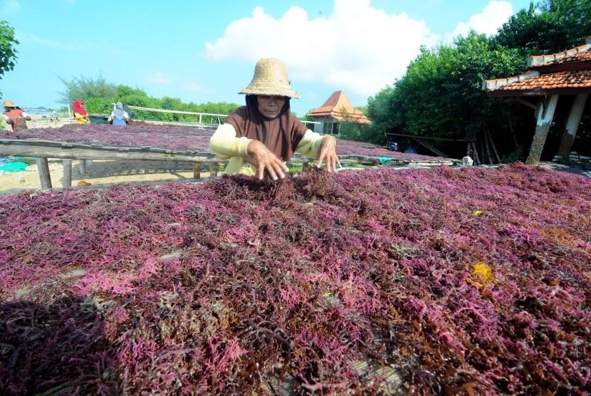 Petani Rumput Laut Di Nunukan Diresahkan Penyakit Tanaman Republika Online