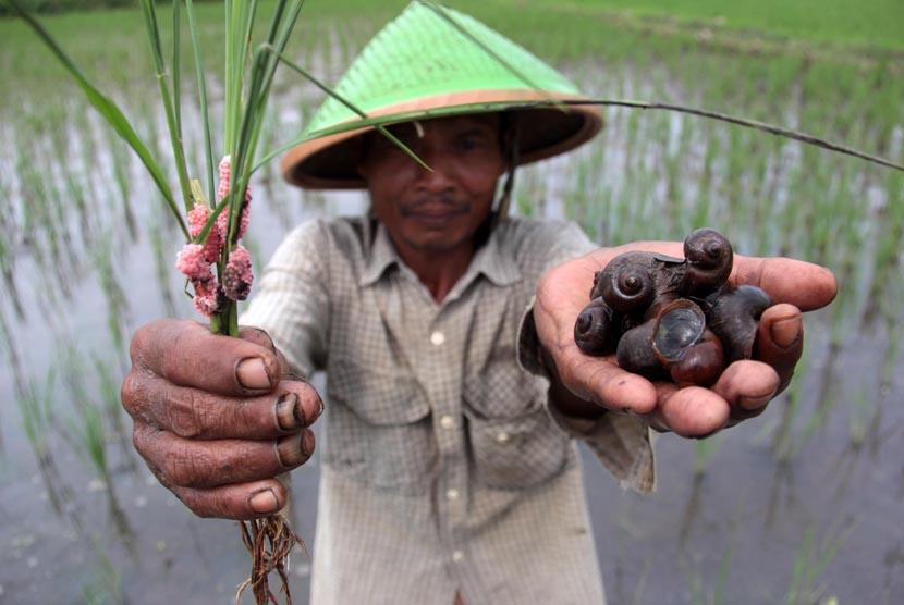 Petani menunjukkan hama keong mas dan telur keong yang menyerang tanaman padinya di Desa Pojoksari, Ambarawa, Kabupaten Semarang, Jateng, Kamis (16/4). (ANTARA /Aditya Pradana Putra)