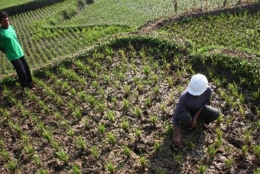 Petani menunjukkan kondisi tanah sawah padi berusia 30 hari yang mengalami gagal tanam akibat musim kemarau.